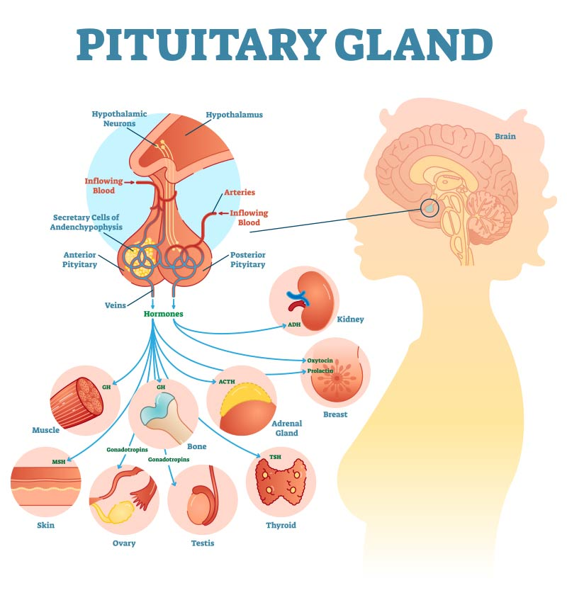 The importance of pituitary gland for balancing hormones in our body, Pituitary Specialist Centre Brisbane