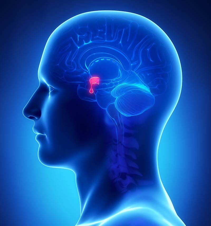 pituitary specialist centre - what is the pituitary gland?